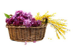 Lilac and French Broom in wicker basket Royalty Free Stock Photo