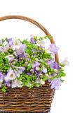 Lilac fresia in het rijs Stock Afbeeldingen