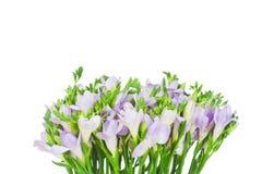 Lilac fresiabloemen Stock Foto's