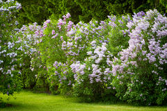The Lilac Garden. Botanic lilac garden. Green grass. Spring Royalty Free Stock Images