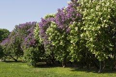 Lilac garden Stock Photo