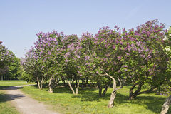 Lilac garden Royalty Free Stock Images