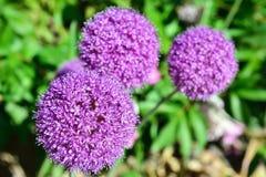 Lilac garden flower Stock Photos
