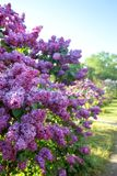 Lilac garden with lilac. Lilac garden with old large lilac bushes royalty free stock image