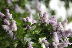 Lilac in the garden Royalty Free Stock Photo