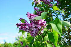Lilac in the garden on a sunny day Stock Images