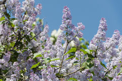 Lilac. Gentle lilac in a warm May day Royalty Free Stock Images