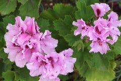 Lilac geranium flowers Stock Image