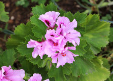 Lilac geranium flowers Royalty Free Stock Image