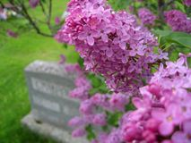 Lilac and Gravestone. Closeup of lilac flowers with gravestone in background. Shallow depth of field with only a few flowers in focus Royalty Free Stock Photos