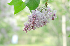 Lilac on the green Royalty Free Stock Photography