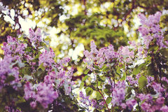 Lilac. On green background with bokeh Royalty Free Stock Photo