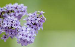 Lilac on green background.  Royalty Free Stock Photo