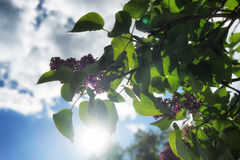 Lilac with green leaves against the blue sky Royalty Free Stock Image