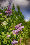 Lilac. Growing in the garden Stock Image