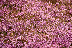 Lilac heather Stock Photography