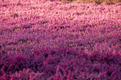 Lilac heather Stock Photo