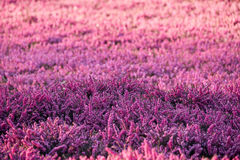 Lilac heather Stock Photos