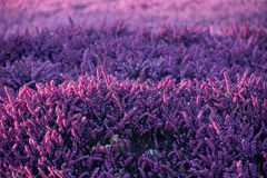 Lilac heather Stock Image
