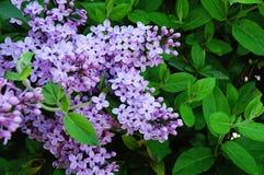 Lilac and honeysuckle 1. Lilac and honeysuckle in a garden 1 royalty free stock photography
