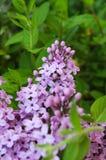 Lilac and honeysuckle 2. Lilac and honeysuckle in a garden 2 stock photo