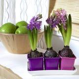 Lilac hyacinth Stock Photo