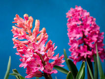 Lilac hyacinth in blossom Stock Photo