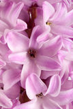 Lilac hyacinth flower close up as background Royalty Free Stock Images