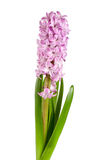Lilac hyacinth flower isolated on white background Royalty Free Stock Photography