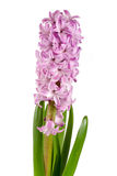Lilac hyacinth flower isolated on white background Royalty Free Stock Photos