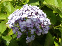 Lilac Hydrangea royalty free stock photography