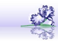 Lilac iris Royalty Free Stock Image