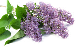Lilac isolated Stock Image