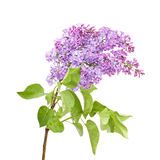 Lilac isolated on white background Royalty Free Stock Image