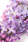 Lilac isolated on white Stock Photography