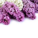 Lilac isolatie Stock Afbeeldingen
