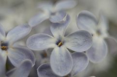 Lilac joy Stock Photo