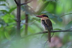 Lilac Kingfisher Royalty Free Stock Images