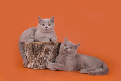 Lilac kittens playing on an orange background isolated Royalty Free Stock Photos