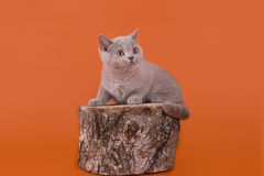 Lilac kittens playing on an orange background isolated Stock Image