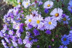 Lilac kleine madeliefjes - de vorige herfst bloemen royalty-vrije stock foto's