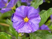Lilac klok Stock Foto's
