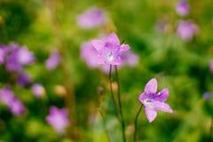 Lilac klokjes in het hout Stock Afbeelding