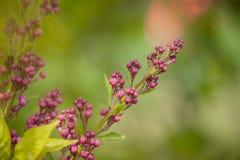 Lilac knop die in de botanische tuin tot bloei komen Royalty-vrije Stock Afbeeldingen