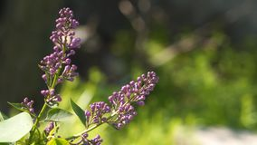 Lilac Knoppen lilac knoppen ongeveer om te bloeien stock videobeelden