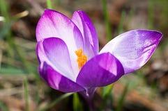 Lilac krokus op het bloembed Stock Foto