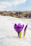 Lilac krokus tegen hemel en sneeuw Stock Foto's