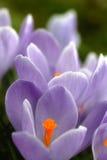 Lilac krokus van de close-up Stock Foto's
