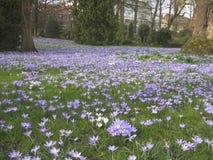 Lilac krokussen in een de lentepark, Leuven, België 2 Stock Afbeeldingen