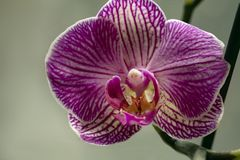 Lilac large Orchid flower detail. Elegant Orchid close-up stock photography